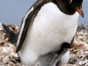 A Gentoo Penguin and Baby!