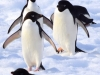 Adelie Penguins!