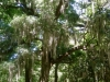 Spanish Moss of Savannah